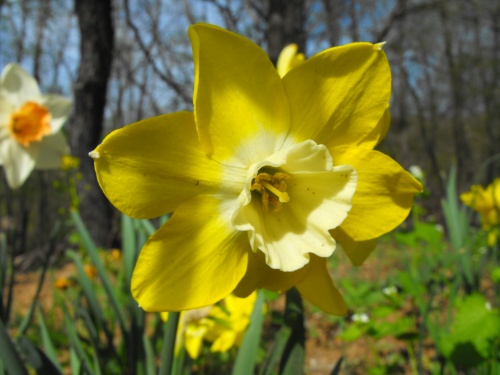 turkeys-and-daffodils-0122